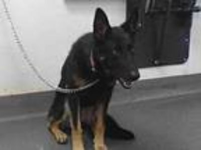 Adopt 20-00954 a German Shepherd Dog