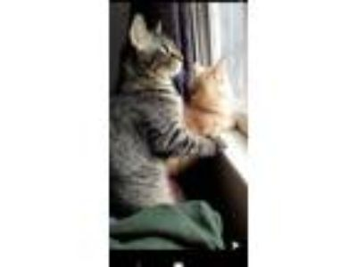 Adopt Taco and Cheetah a Orange or Red Tabby Domestic Mediumhair / Mixed cat in