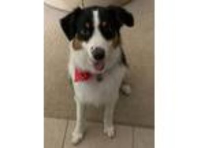 Adopt Diamond a Tricolor (Tan/Brown & Black & White) Australian Shepherd / Mixed
