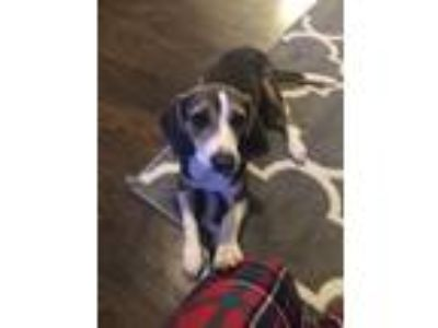Adopt Gracie a Gray/Blue/Silver/Salt & Pepper Beagle dog in Helena
