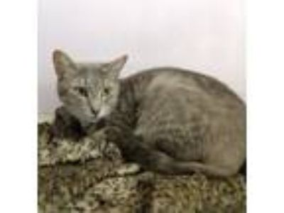 Adopt Clare a Domestic Short Hair