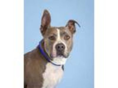 Adopt Zoey a Gray/Blue/Silver/Salt & Pepper American Pit Bull Terrier / Mixed