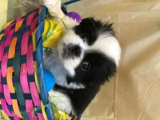 Japanese Chin PUPPY FOR SALE ADN-73404 - Mistys Litter