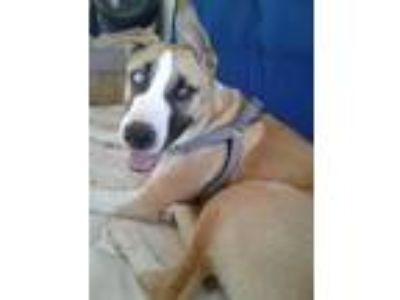 Adopt Eastwood a Tricolor (Tan/Brown & Black & White) Husky / Great Dane / Mixed