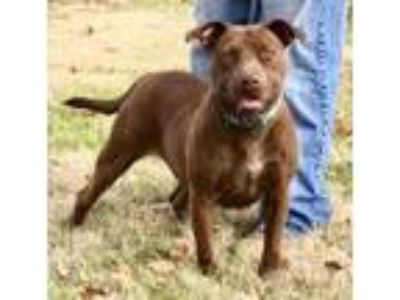 Adopt Autumn- friendly young, loves kids, perfect a Pit Bull Terrier