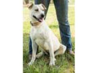 Adopt Blondie a Yellow Labrador Retriever, Pit Bull Terrier