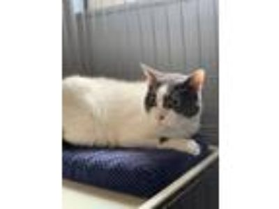 Adopt Bertha a Domestic Short Hair