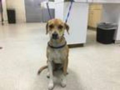 Adopt Dog a Beagle, Labrador Retriever