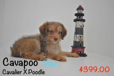 Cavapoo PUPPY FOR SALE ADN-93606 - Cavapoo Puppy Male