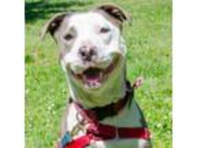 Adopt Macy a American Staffordshire Terrier