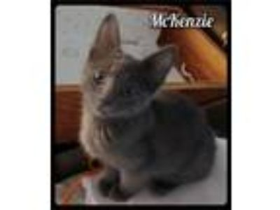 Adopt McKenzie - Foster / 2019 a Gray or Blue Domestic Shorthair / Mixed (short