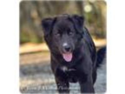 Adopt Penny a Border Collie