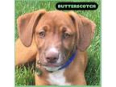 Adopt Butterscotch a Tan/Yellow/Fawn Labrador Retriever / Hound (Unknown Type)