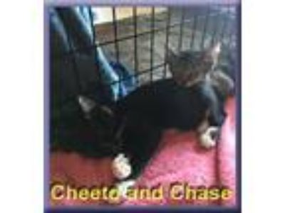 Adopt Chase and Cheeto a Black & White or Tuxedo Domestic Shorthair (short coat)