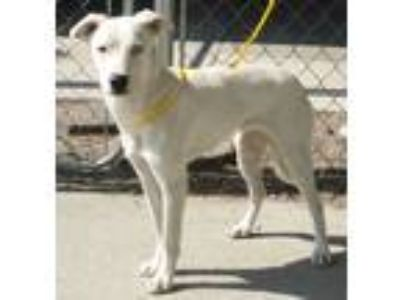 Adopt 39356211 / Blue a Cattle Dog
