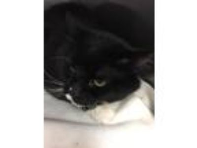 Adopt Quincy a Domestic Mediumhair / Mixed (short coat) cat in Fall River