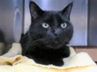 Adopt Shadow Anchor a Domestic Shorthair / Mixed (short coat) cat in New York