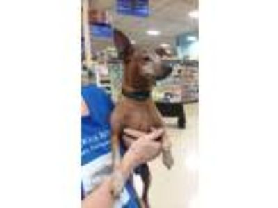 Adopt Lyric a Miniature Pinscher