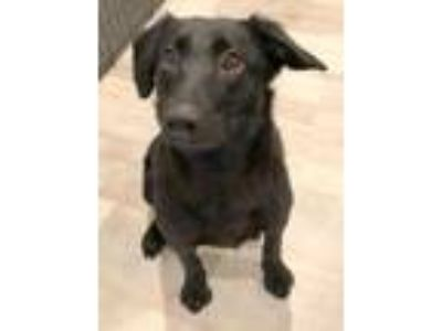 Adopt Sugar a Black Labrador Retriever / Terrier (Unknown Type
