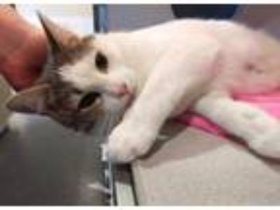 Adopt *STAR a White (Mostly) Domestic Shorthair / Mixed (short coat) cat in
