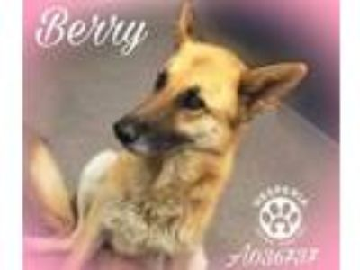 Adopt BERRY a Brown/Chocolate German Shepherd Dog / Mixed dog in Hesperia