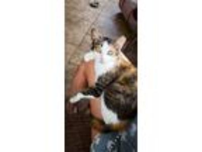 Adopt Mimi a Calico or Dilute Calico Domestic Shorthair / Mixed (short coat) cat