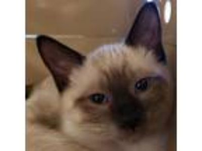 Adopt Charming a Brown or Chocolate Domestic Shorthair / Siamese / Mixed cat in