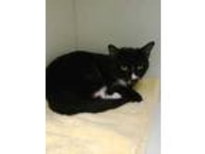 Adopt Olympus 95 a All Black Domestic Shorthair / Domestic Shorthair / Mixed cat