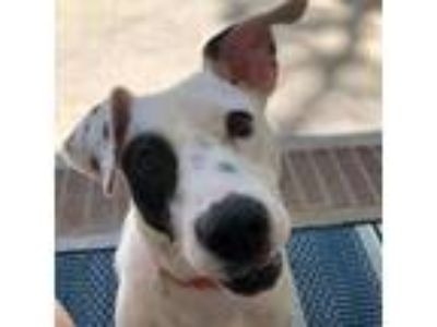 Adopt Winkie a White Pit Bull Terrier / Mixed dog in Boston, MA (25541129)