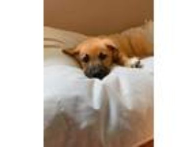Adopt Porter a Black Mouth Cur dog in Bowmansville, NY (25822906)