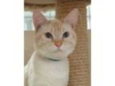 Adopt Tony a White Siamese / Domestic Shorthair / Mixed (short coat) cat in