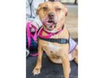 Adopt Amber a American Staffordshire Terrier