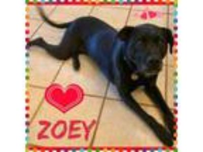Adopt Zoey a Black Labrador Retriever