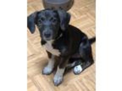 Adopt Grace a Black - with White Hound (Unknown Type) / Cattle Dog / Mixed dog