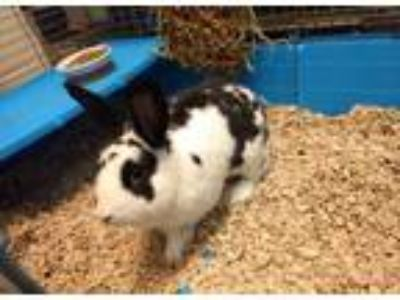Adopt OREO a Black Other/Unknown / Mixed rabbit in Chapel Hill, NC (25196426)