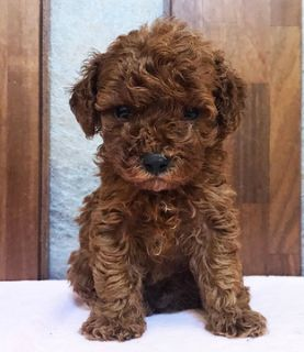 Poodle (Toy) PUPPY FOR SALE ADN-93805 - Red Toy Poodle Butch