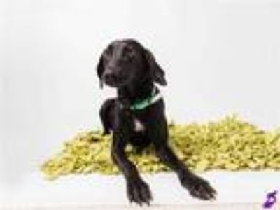 Adopt RULA a Black Black and Tan Coonhound / Labrador Retriever / Mixed dog in