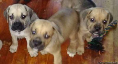 Cane Corso Male Puppies