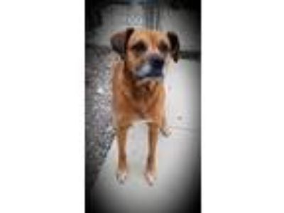 Adopt Kirby a Boxer