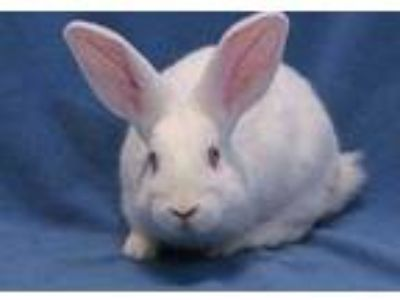 Adopt Lip a White New Zealand / Other/Unknown / Mixed rabbit in Mentor