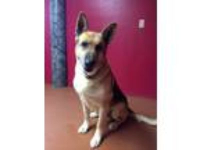 Adopt Magnum PI a Labrador Retriever, German Shepherd Dog