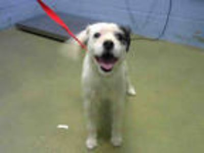 Adopt a White - with Black Terrier (Unknown Type, Medium) / Mixed dog in Moreno