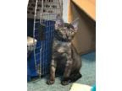 Adopt Louise a Gray, Blue or Silver Tabby Domestic Shorthair (short coat) cat in