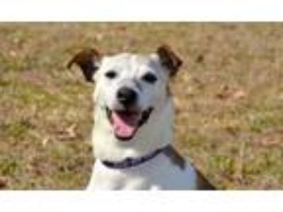 Adopt Rigby a Jack Russell Terrier