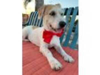 Adopt Misty a Jack Russell Terrier