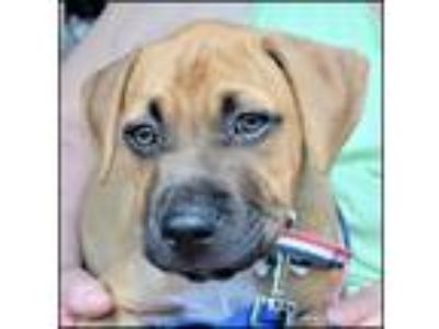 Adopt Calhoun Puppy - Available July 14th a Boxer, Pit Bull Terrier