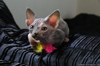 Bambino boy and girl Sphynx kittens ready