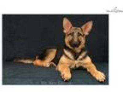 AKC Black and Tan Female GSD Puppy - Cassie