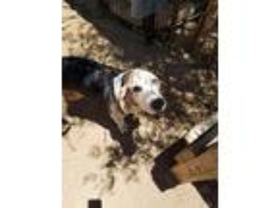 Adopt Rocky a Tricolor (Tan/Brown & Black & White) Basset Hound / Mixed dog in