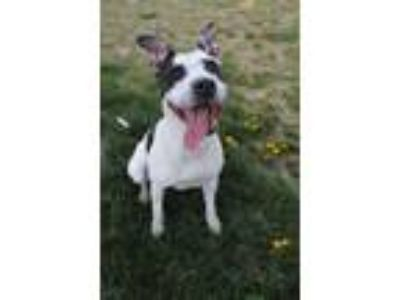 Adopt Freckles a Cattle Dog, Pit Bull Terrier